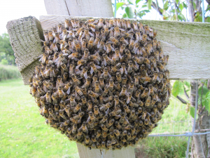 Ball of bees