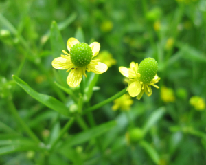 Celery-Leaved Buttercup?