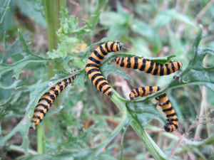 Cinnabar Moth Caterpillars?