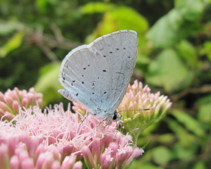 Holly Blue?