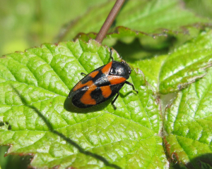 Red-and-black Froghopper?