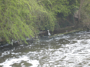 Grey Heron at Penton hook weir