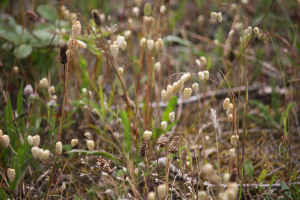 great quaking grass