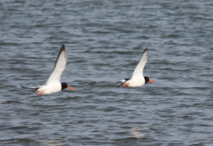 Copy of oystercatchers ajw.jpeg