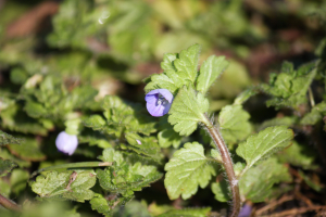 Common Field Speedwell?