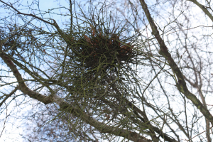 witches broom gall