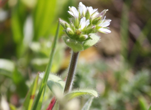 common mouse ear