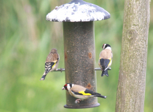 goldfinches with juvenile