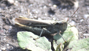 stripe winged grasshopper