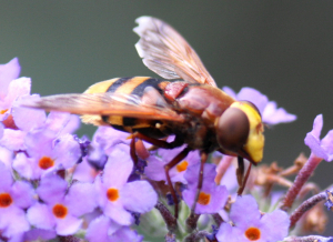 Volucella inanis