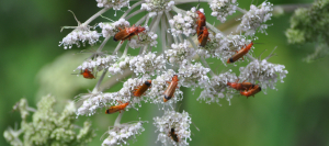beetles on umbellifer