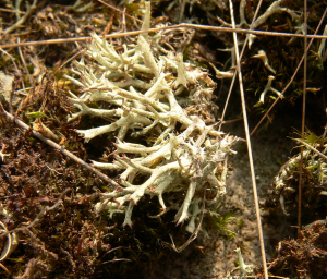 cladonia, peak district
