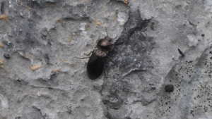 Ground Beetle species