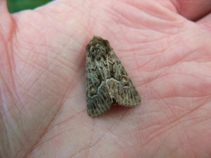 straw underwing perhaps