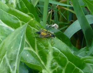Large black and yellow insect.