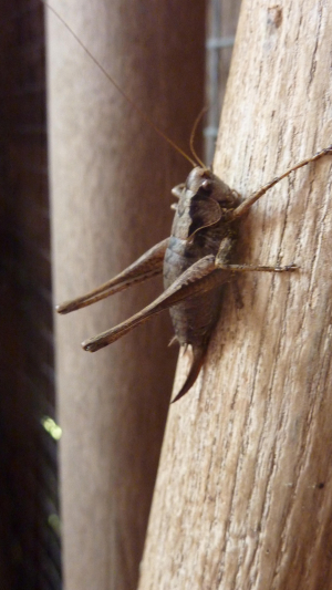 cricket or grasshopper?