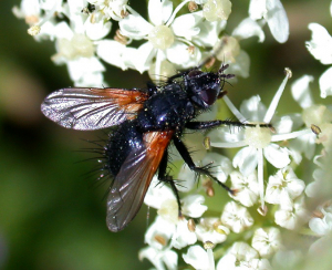 red-winged fly in Guernsey