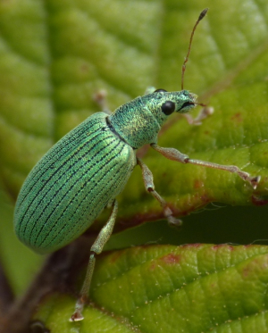 green weevil/beetle in Guernsey