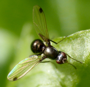 spot-winged Fly sp in Guernsey