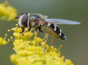 white banded hoverfly Guernsey 26Jul12