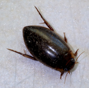 diving beetle in Guernsey