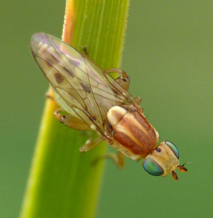 small fly in Guernsey
