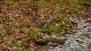 Squirrel, observed in probable ancient woodland