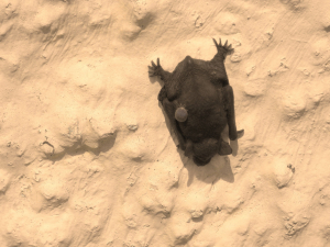 young bat with tick attached