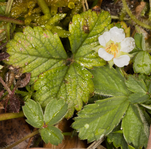 Barren Strawberry.