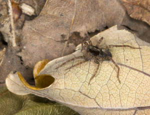 Wolf spider on dry leaf