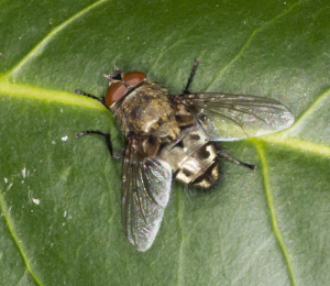 Unidentified fly.