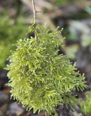 Clump of moss hanging from a twig.