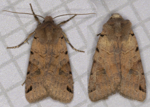 Brown-Spot Pinion, Agrochola litura.