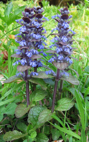 Common Bugle, Ajuga reptans.