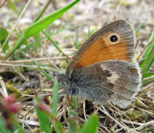 Small Heath butterfly, Coenonympha pamphilus.