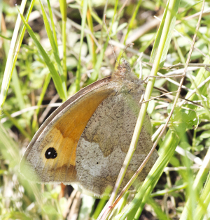 Meadow Brown butterfly, Maniola jurtina.  Hayes Common, 24 July 2011.