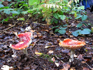 Fly Agaric, Amanita muscaria.