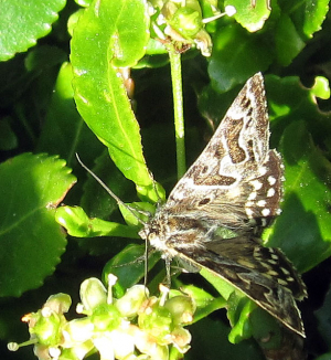 Mother Shipton moth, Callistege mi.