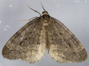 Winter Moth.
