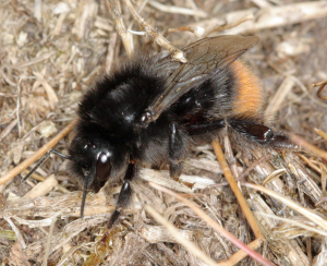 Red-tailed bumble-bee.