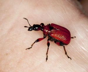 Bright red weevil.