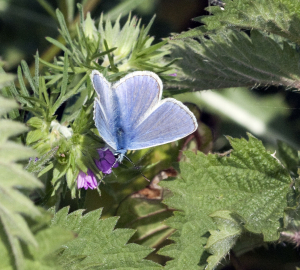 Male Common Blue Butterfly.