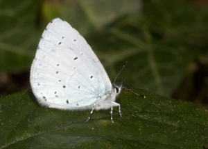 Holly Blue.