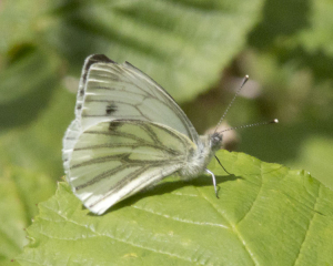 Green-Veined White.