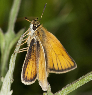 Small Skipper.