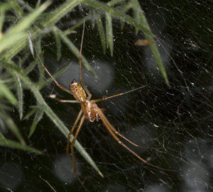 Sheet web spider.