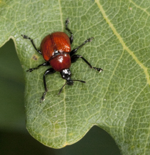 Red weevil on Oak.