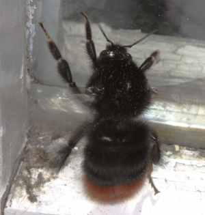 Red-tailed Bumblebee.