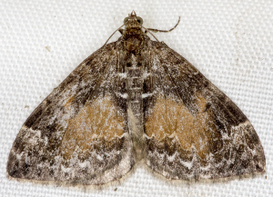 Common Marbled Carpet.