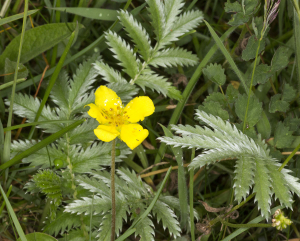Silverweed.